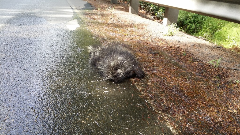 Dead Porcupine on the side of State Highway 7
